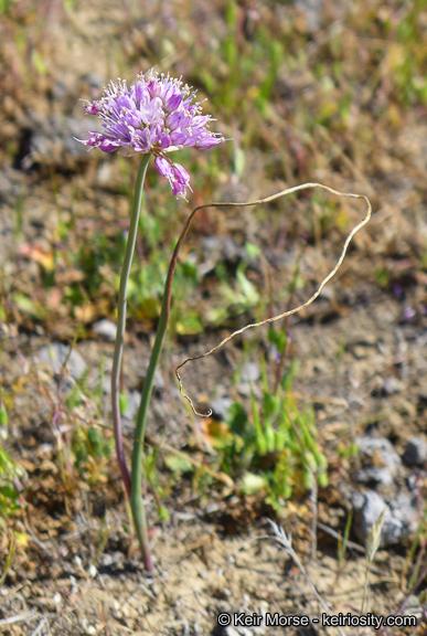 Allium howellii
