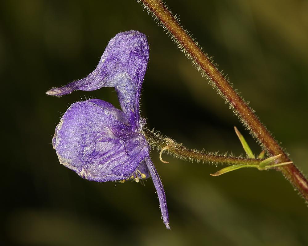 Aconitum columbianum ssp. columbianum