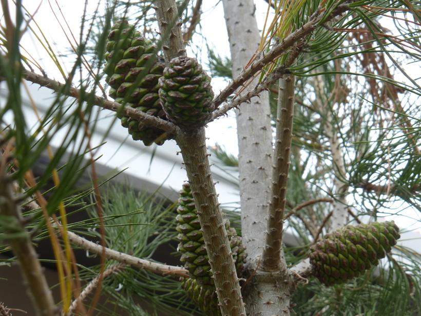 Pinus eldarica