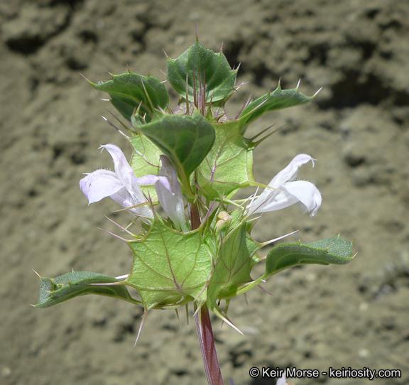 Acanthomintha obovata ssp. cordata