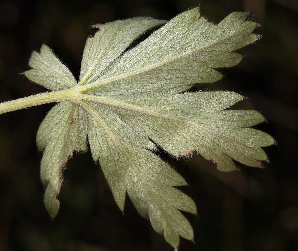 Potentilla glaucophylla