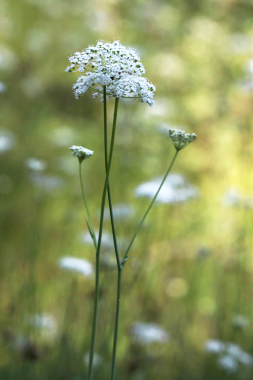 Perideridia parishii ssp. latifolia