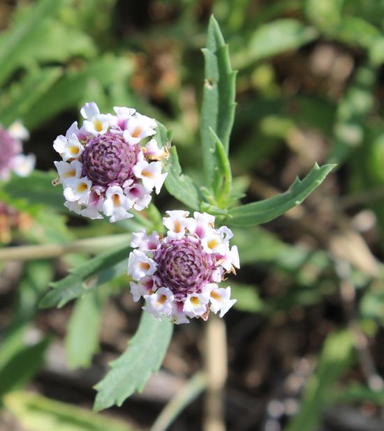 Phyla cuneifolia