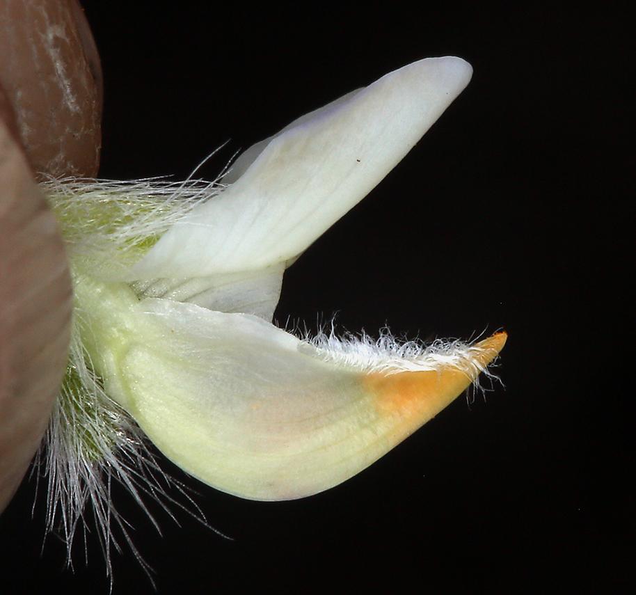 Lupinus lepidus var. sellulus