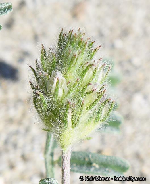 Astragalus didymocarpus var. dispermus