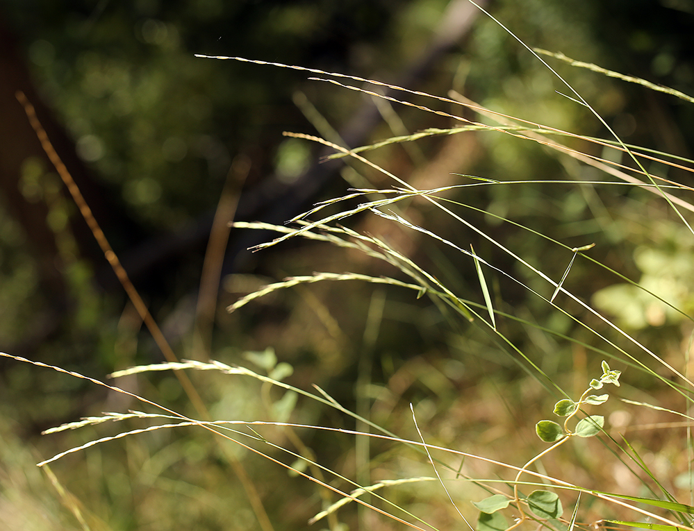 Elymus stebbinsii