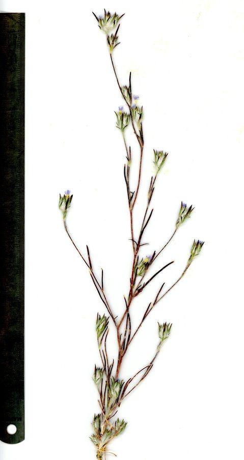 Eriastrum calocyanum