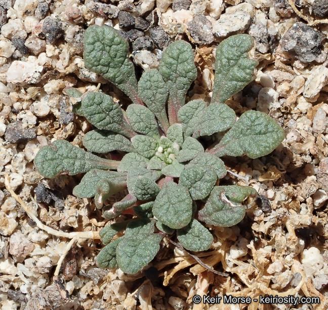 Calyptridium parryi var. parryi