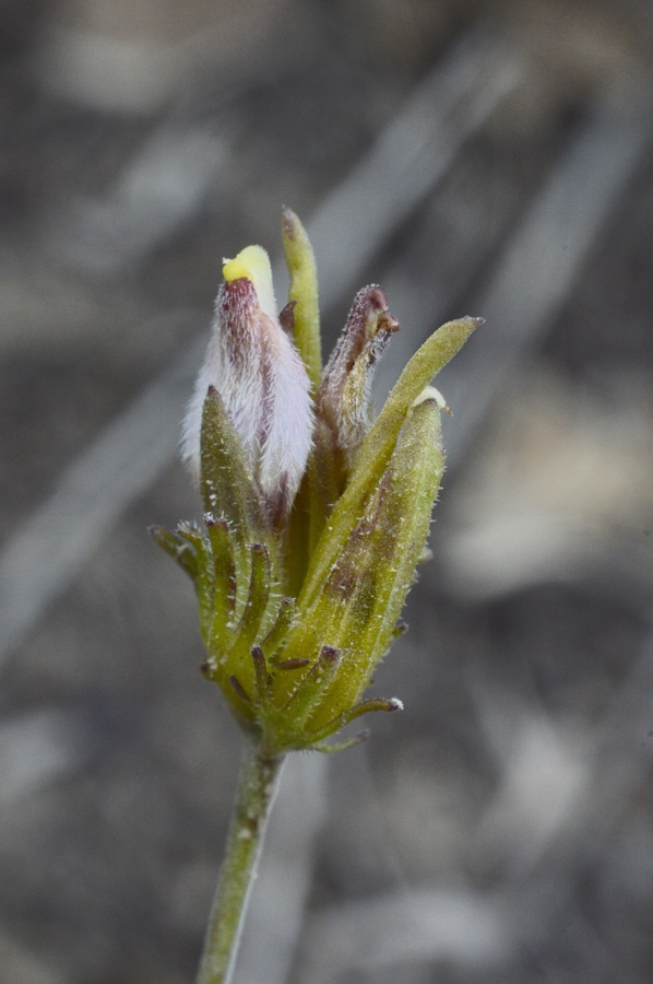 Cordylanthus eremicus ssp. kernensis