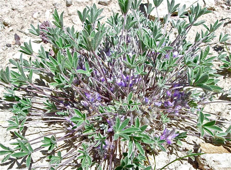 Lupinus lepidus var. utahensis