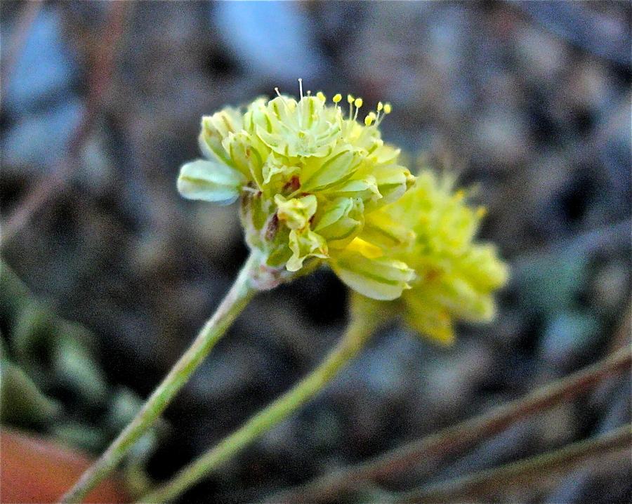 Eriogonum ovalifolium var. depressum