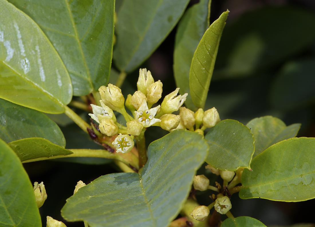 Frangula rubra ssp. obtusissima