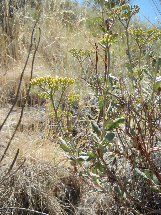 Eriogonum microthecum var. schoolcraftii