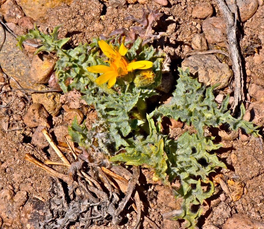 Crepis modocensis ssp. subacaulis