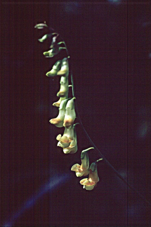Lathyrus sulphureus var. sulphureus