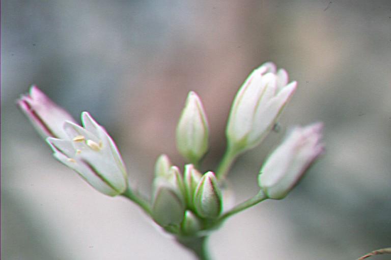 Allium diabolense image