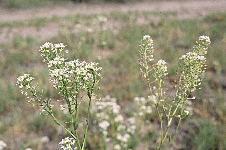Lepidium montanum var. montanum