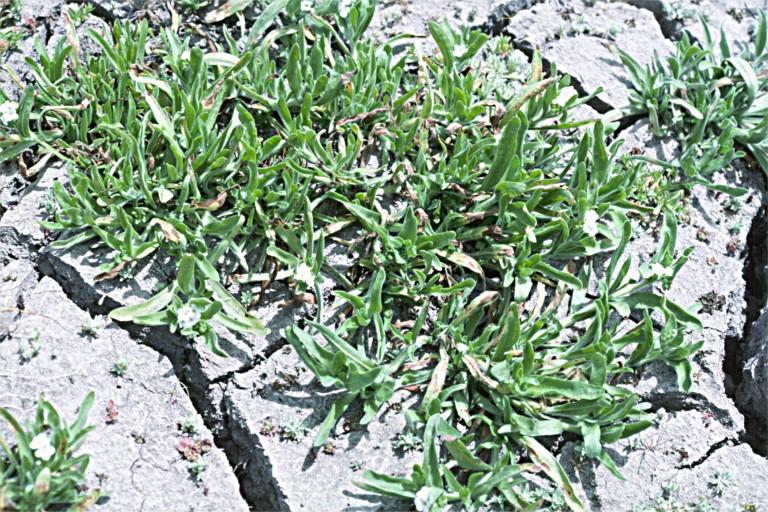 Allocarya mollis image