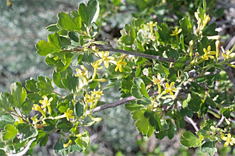 Ribes aureum var. aureum