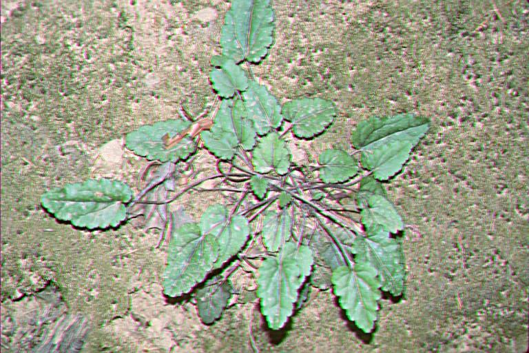Synthyris reniformis var. cordata
