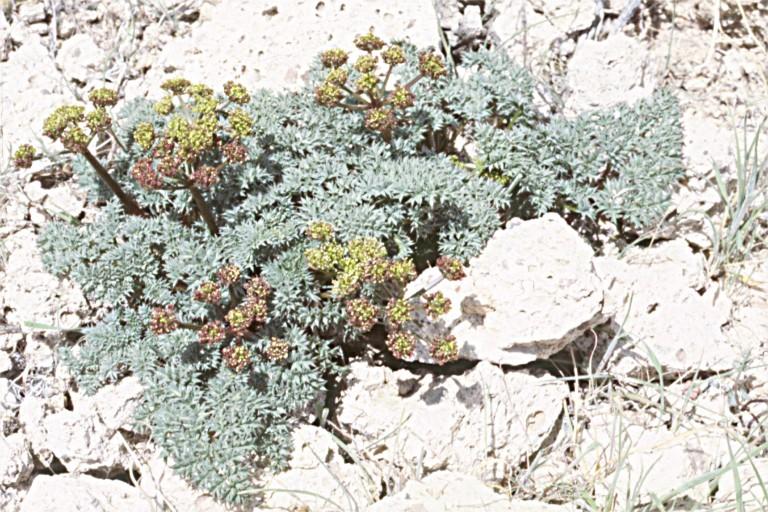 Cymopterus purpurascens