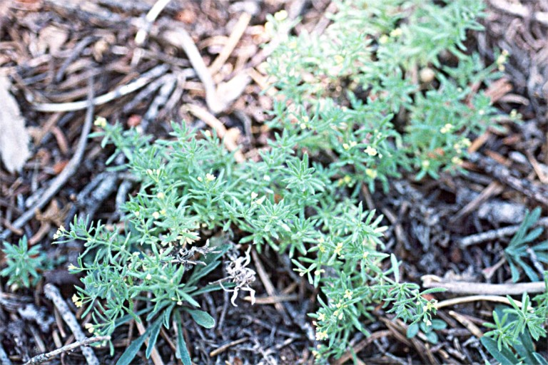 Galium ambiguum ssp. ambiguum