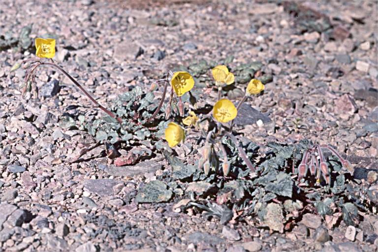 Camissonia claviformis ssp. funerea