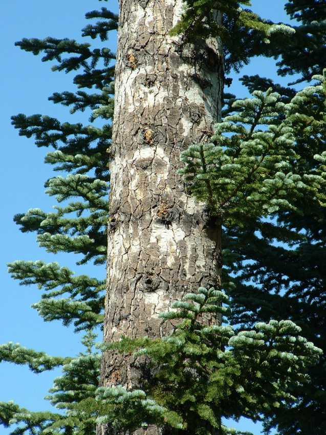 Abies magnifica var. shastensis