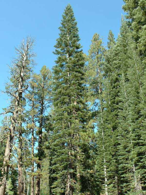 Calphotos Abies Magnifica Var Magnifica California Red Fir