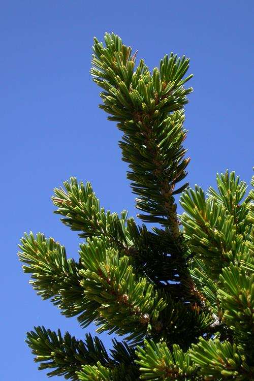 Pinus balfouriana