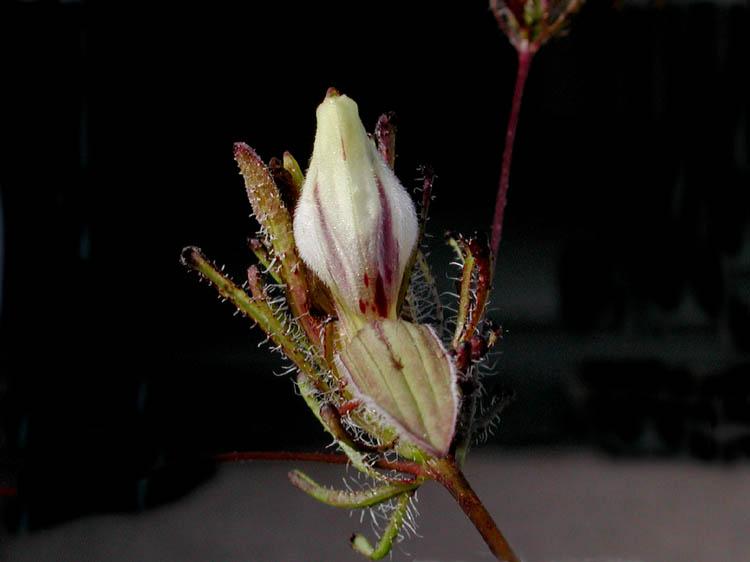 Cordylanthus rigidus ssp. setigerus