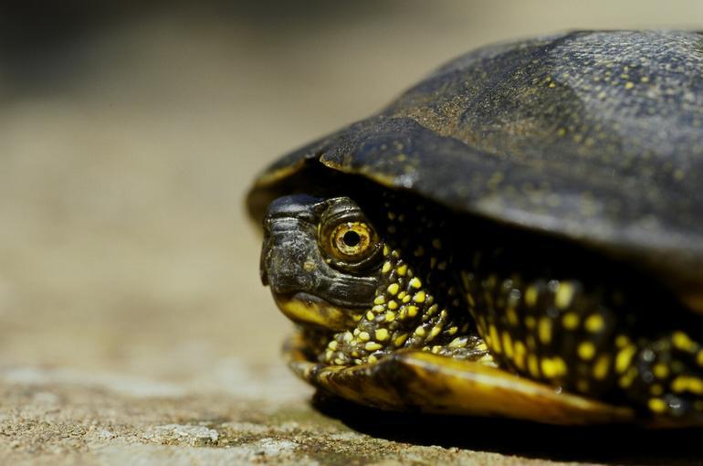 لاکپشت برکه ای اروپایی