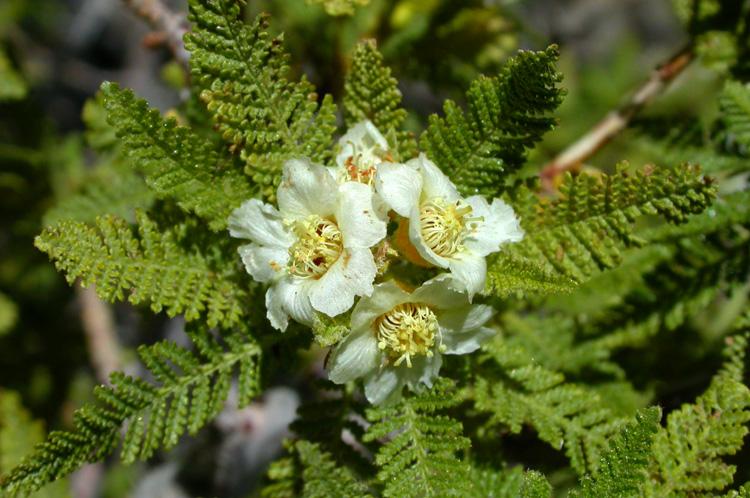 Chamaebatiaria millefolium