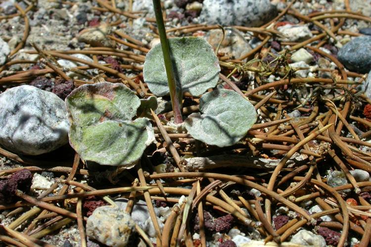 Eriogonum deflexum var. baratum