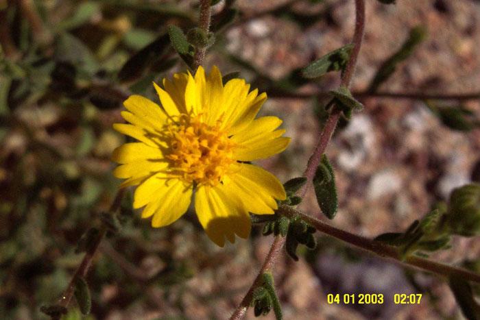 Hemizonia arida