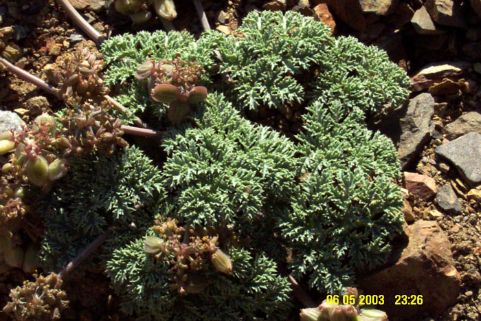 Lomatium shevockii