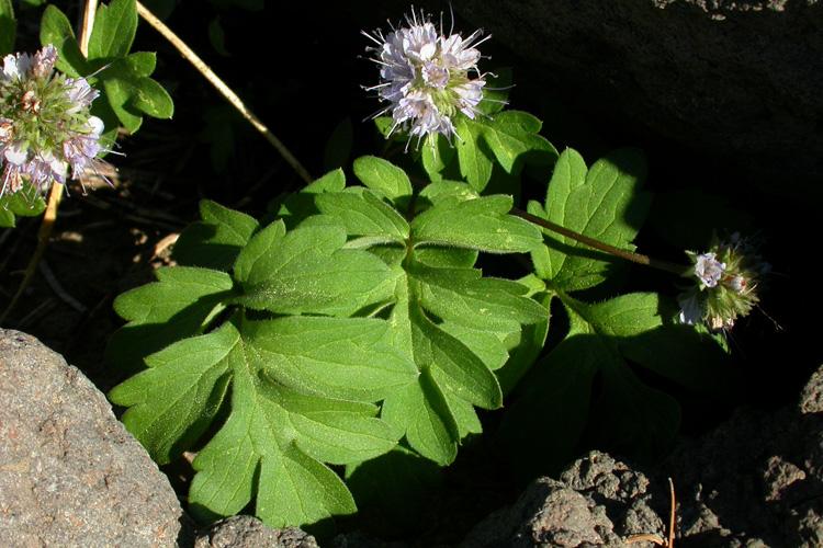 Hydrophyllum occidentale
