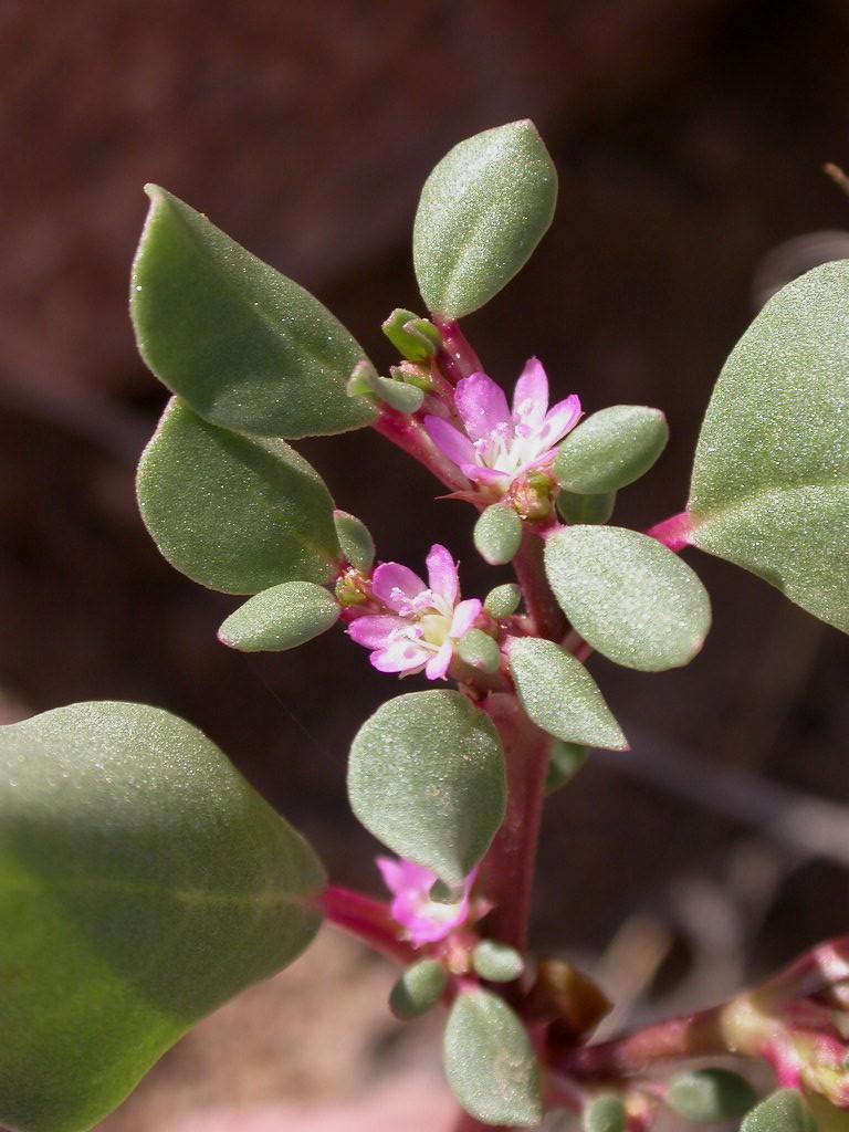 Trianthema portulacastrum