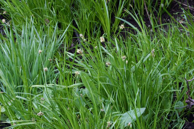 Carex nervina