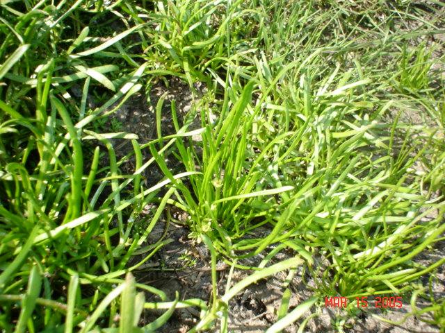 Myosurus minimus ssp. apus
