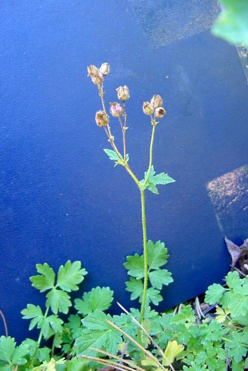 Potentilla glandulosa ssp. ewanii
