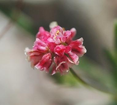 Eriogonum gracillimum