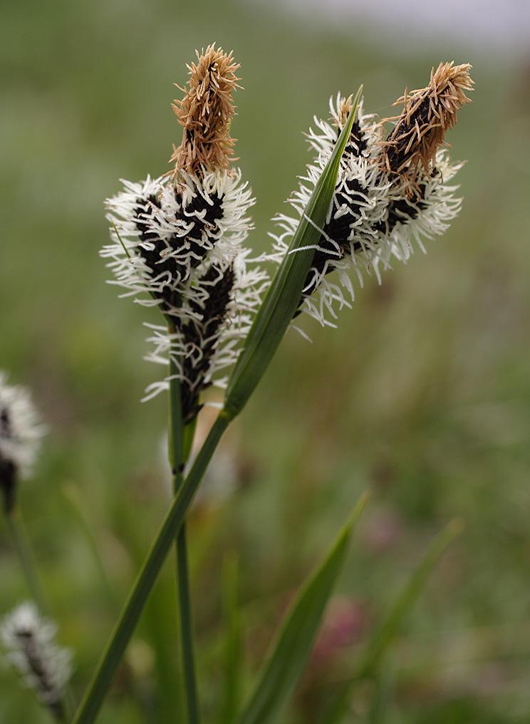 Carex scopulorum var. bracteosa