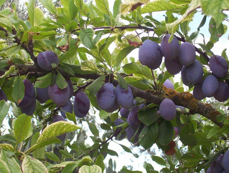 prunus domestica garden plum