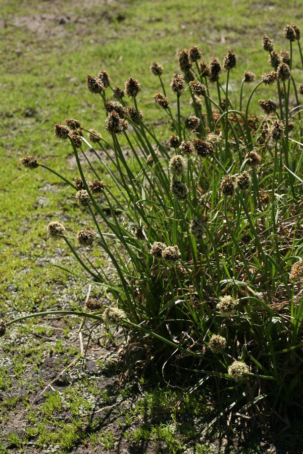 Carex vernacula