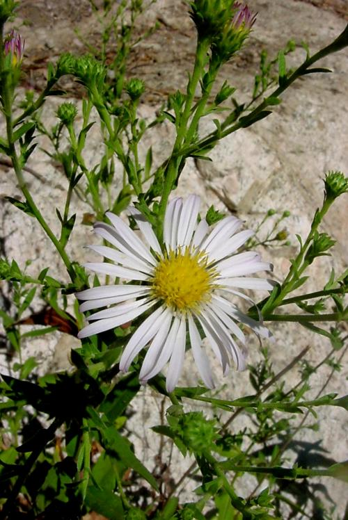 Aster greatae