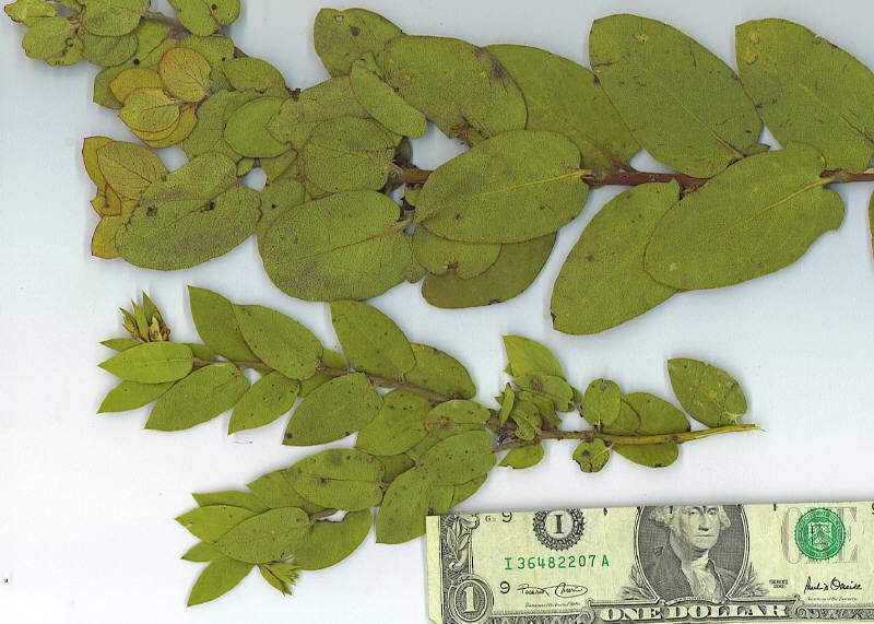 Arctostaphylos glandulosa ssp. howellii