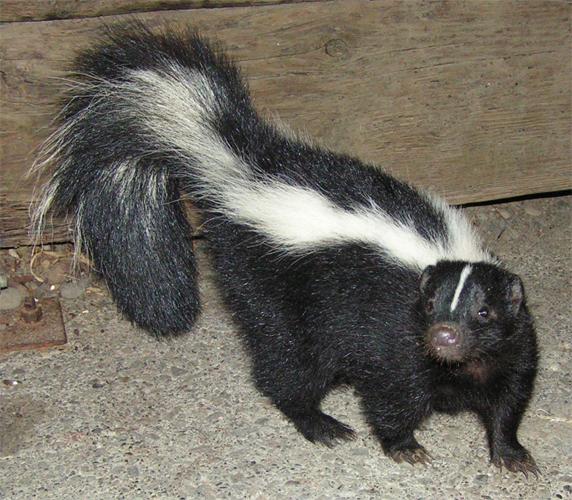 Mephitis mephitis (Striped skunk)