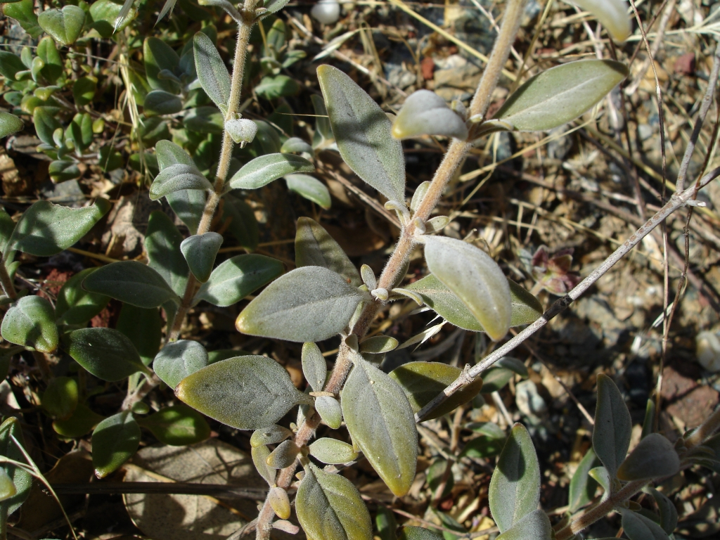 Monardella stebbinsii