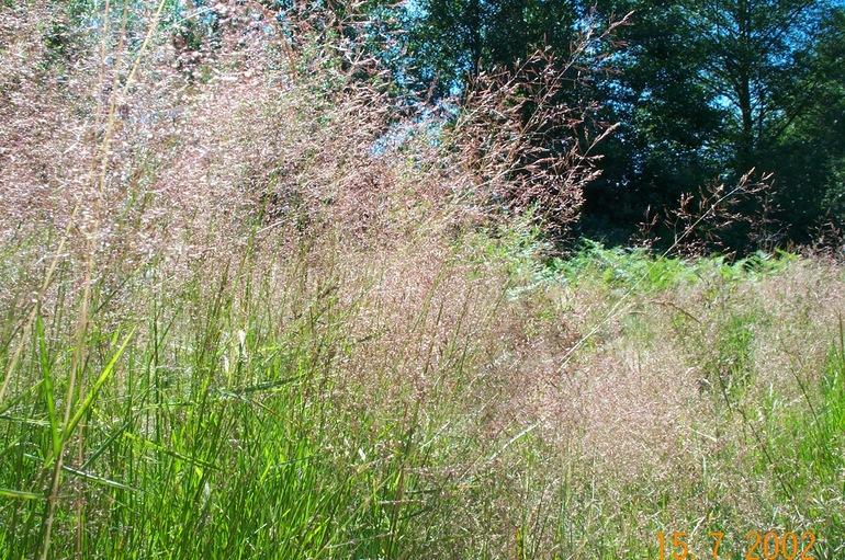 Agrostis alba var. alba ; Redtop: calphotos.berkeley.edu/cgi/img_query?enlarge=0000+0000+0906+0749
